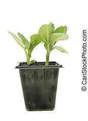 Broad bean seedlings - Two broad bean seedlings in a pot...