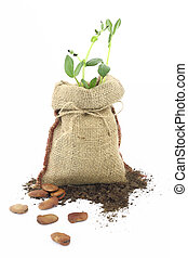 Broad beans plant in a burlap sack