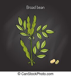 Broad beans vector - Broad beans or fava beans hand drawn....