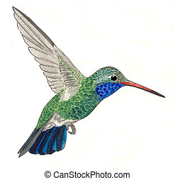 Broad-billed Hummingbird - male Cynanthus latirostris...