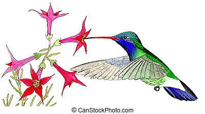 Broad-billed Hummingbird - male at Skyrocket Cynanthus...