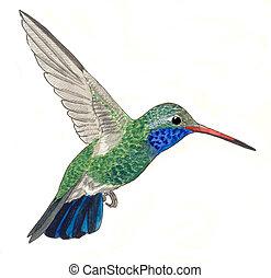 Broad-billed Hummingbird - male Cynanthus latirostris ...