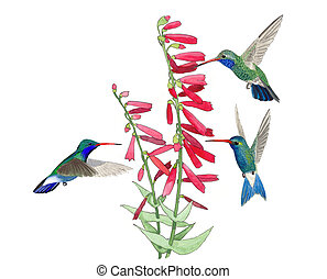 Broad-billed Hummingbirds males Cynanthus latirostris at Penstemon Watercolor