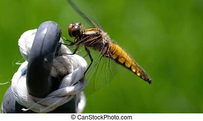 Broad-bodied Chaser on a fences - Libellula depressa in a...