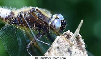 Broad-bodied Chaser - Libellula depressa in a super macro shot