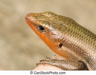 Broad-Headed Skink - Close-up of a male Broad-Headed Skink...