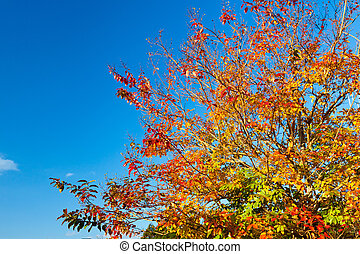 broad-leaved tree in autumn - This is a picture of...