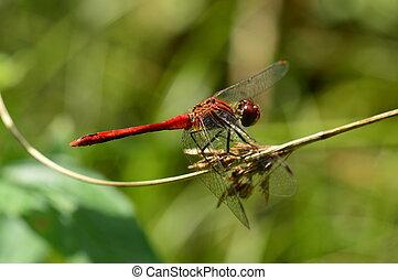 Broad Scarlet Darter 2