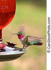 Broad-tailed adult male hummingbird