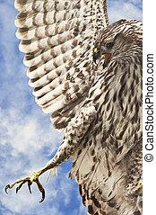 Broad-Winged Hawk - A broad-winged hawk hunting for prey...