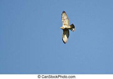 Broad-Winged Hawk Flying in a Blue Sky