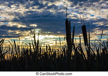 Broadleaf Cattail (Typha latifolia) on sunshine