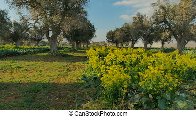 Broccoli flowers after harvest along olive trees - Broccoli...