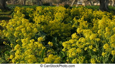 Broccoli flowers after harvest - Broccoli yellow flowers in...