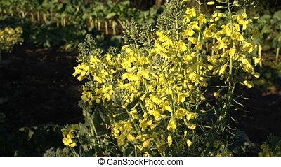 Broccoli flowers waving in the wind