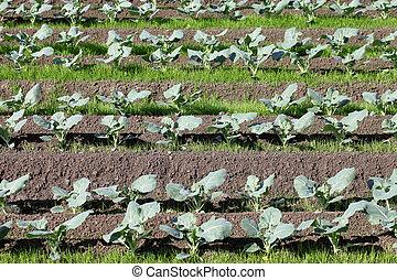 broccoli growing in rows  - broccoli plant in a farm field