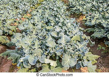 Broccoli growing up in the agricultural garden