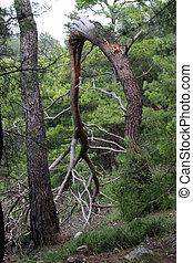 Brocken tree - Brocken pine tree in the forest near rdasan, ...