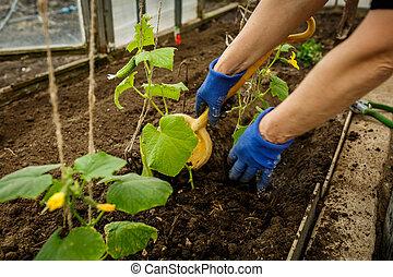 broeikas, aanplant, komkommers, jonge, groene