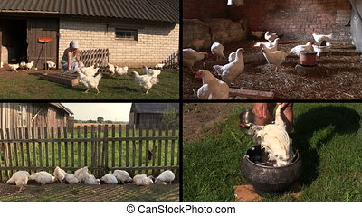 broiler feed collage - Farmer woman feeding broiler hen...