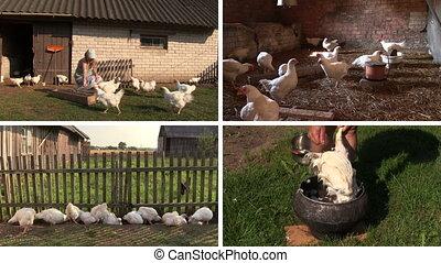 broiler feed collage - Farmer woman feeding broiler hen...