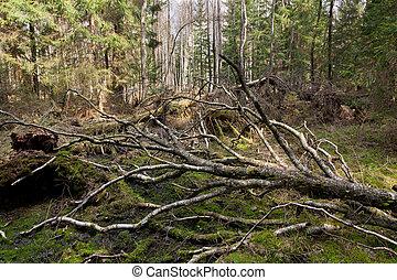 Broken birch tree in spring