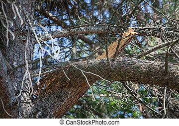 Broken branch of a pine tree