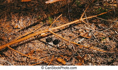 Broken branches from pine tree lie on the ground in the forest