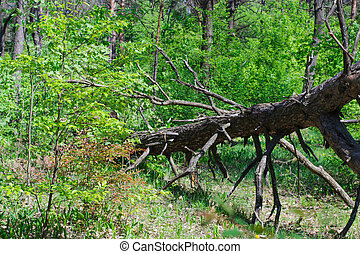 Broken dry tree in the forest