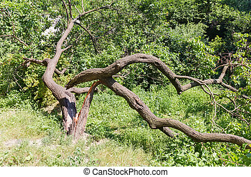 Broken fallen old apricot tree with twisted splitted trunk