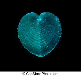 broken heart sea shells
