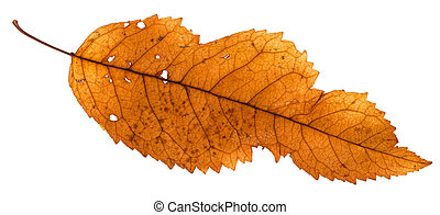 broken leaf of ash tree isolated on white background