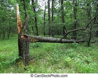 Broken oak
