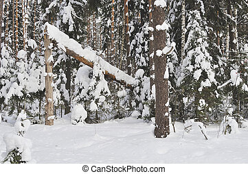 Broken tree in winter forest