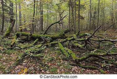 Broken tree moss wrapped decline in autumn