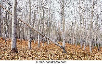 Broken tree on a row autumn