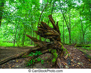 Broken tree roots in Bialowieza primeval forest