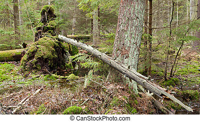 Broken tree roots partly declined inside coniferous stand