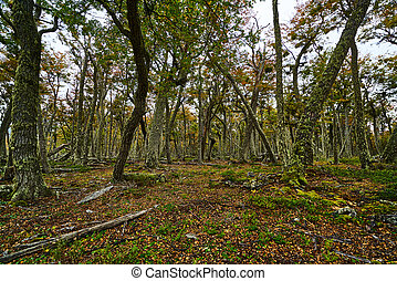 Broken trees and broken branches on the site of beaver dams in the Tierra del Fuego National Park. Argentine Patagonia in Autumn