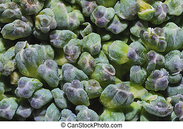 brokoli macro - fresh green healthy vegetable brokoli...