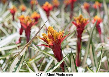 Bromeliad flower in the garden