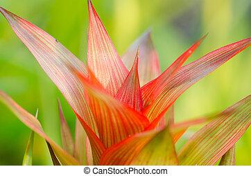 bromeliad, guzmania