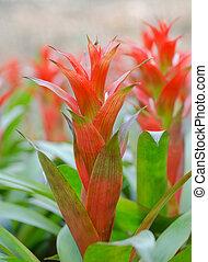bromeliad, kwiat