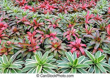 Bromeliad plants in the garden