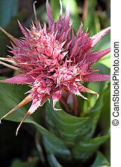 bromeliads, 花が咲く