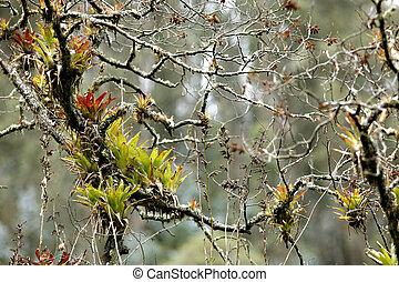 Bromeliads on a branch - In Andean cloudforest, Ecuador
