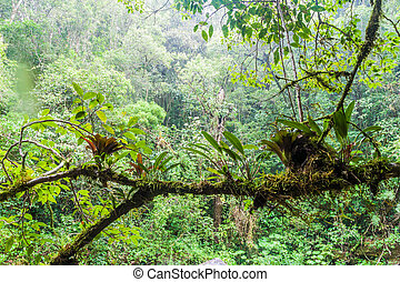 Bromeliads on a tree in a jungle in Pana