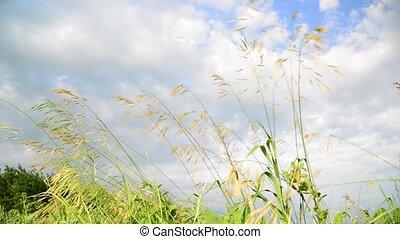 bromus, herbe, ciel, pré, contre