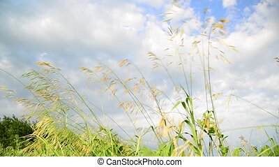 Bromus meadow grass against the sky