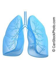bronche, plíce